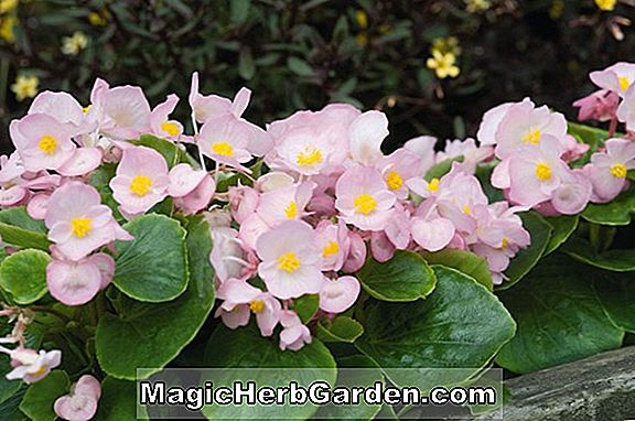 Planter: Begonia Color Queen (Color Queen Begonia)