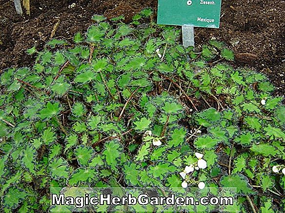 Planter: Begonia Constance (Constance Begonia)