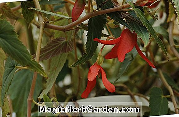 Begonia Cotton Candy (Cotton Candy Begonia) - #2