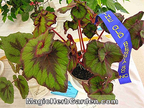 Begonia Curly Bliss (Curly Bliss Begonia)