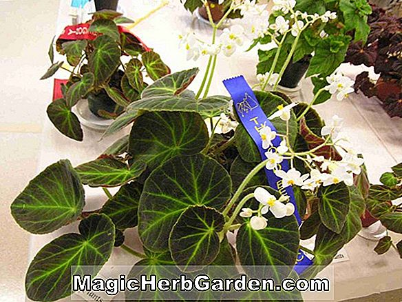 Begonia Curly Silver Queen (Curly Silver Queen Begonia)