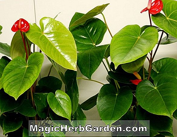 Planter: Begonia Dancer (Dancer Begonia)