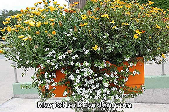 Planter: Begonia Orange Delight (Orange Delight Begonia)