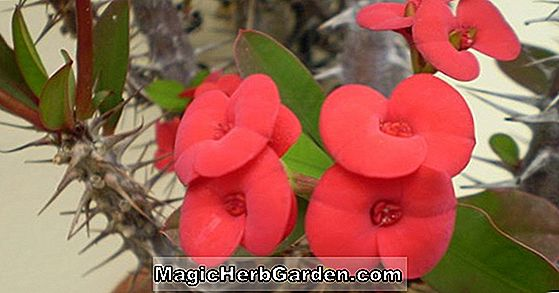 Planter: Begonia Fanny Tennessee (Fanny Tennessee Begonia)
