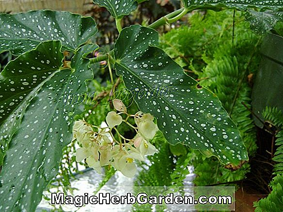 Begonia Fred Bedson (Fred Bedson Begonia)