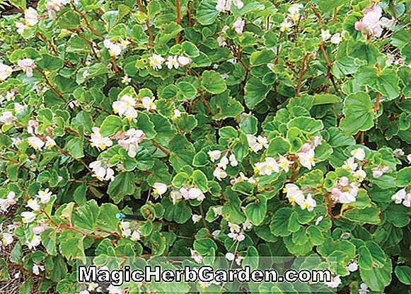 Planter: Begonia Friendship (Friendship Begonia)