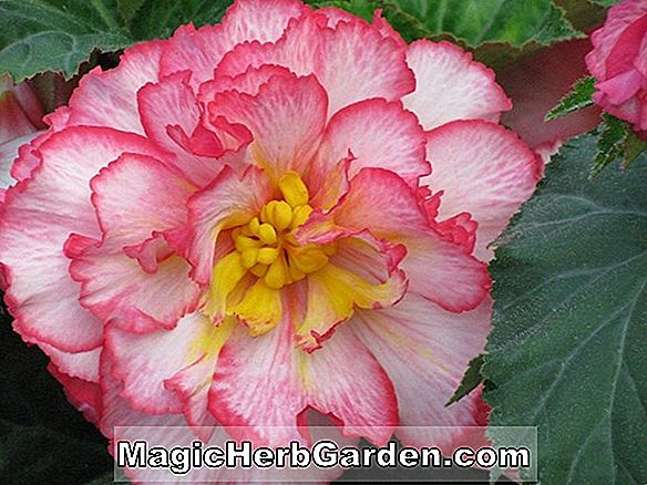 Begonia Frilly Red (Frilly Red Begonia)