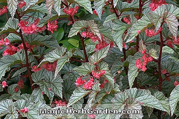 Planter: Begonia Frosty Mountain (Frosty Mountain Begonia)