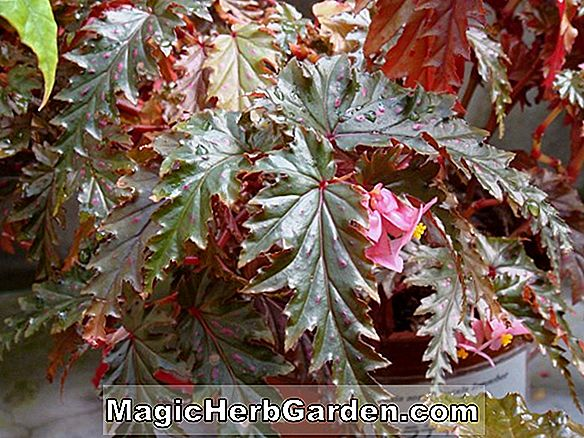 Planter: Begonia Louise Lackey (Louise Lackey Begonia) - #2
