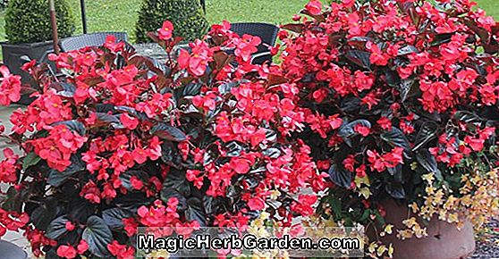 Begonia Sir William Cook (Sir William Cook Begonia)