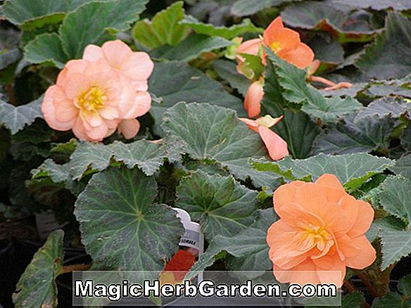 Planter: Begonia Golden Goddess (Golden Goddess Begonia)