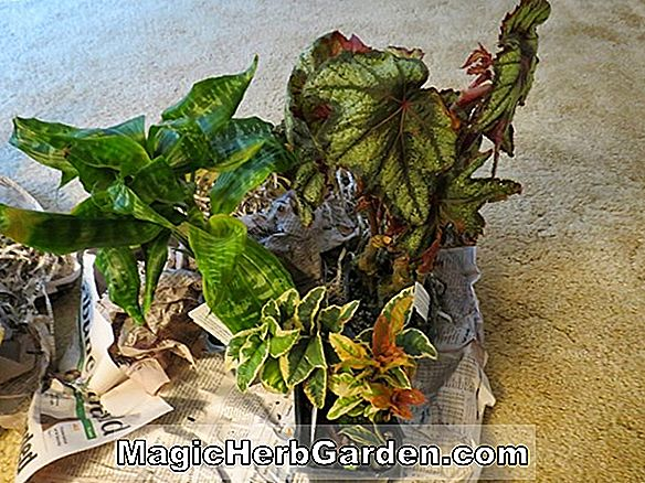 Begonia Goldie Locks (Goldie Locks Begonia) - #2