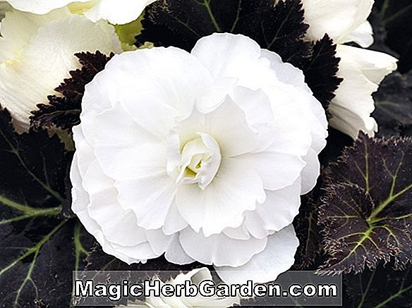 Begonia Hawaiian Punch (Hawaiian Punch Begonia) - #2