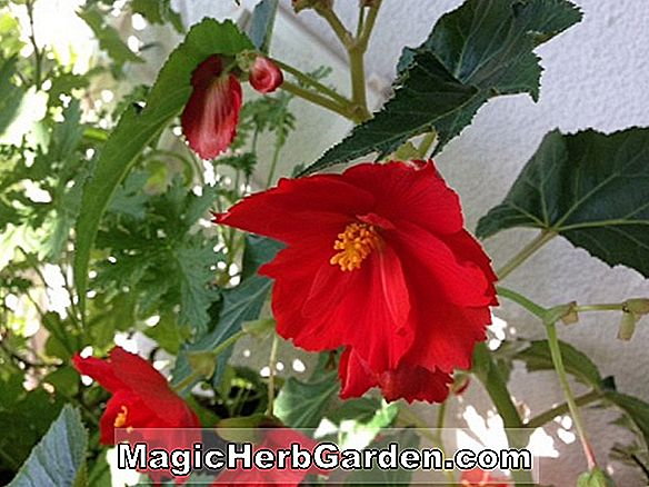 Begonia Hippie Gone Straight (Hippie Gone Straight Begonia)
