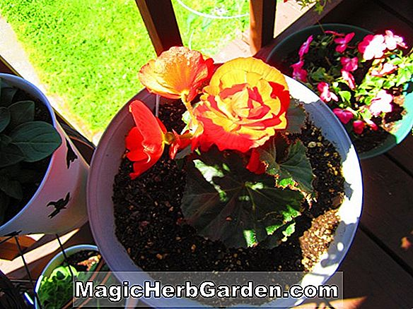 Planter: Begonia Honey (Honey Begonia)