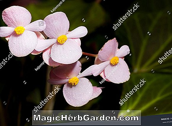 Planter: Begonia Joe Hayden (Joe Hayden Begonia)