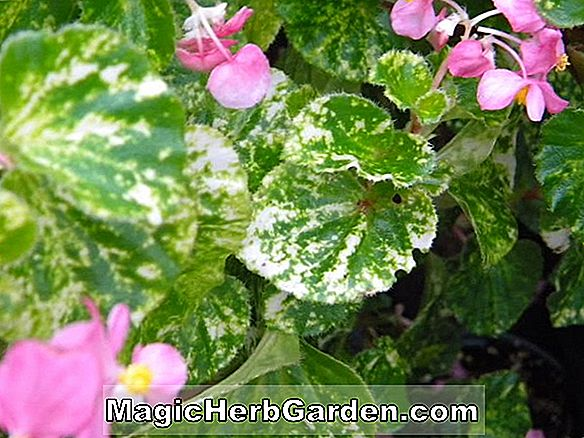 Begonia Lady Frances Leatherman (Lady Frances Leatherman Begonia)