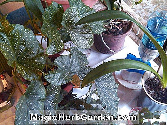 Begonia Lawrence H. Fewkes (Lawrence H. Fewkes Begonia) - #2