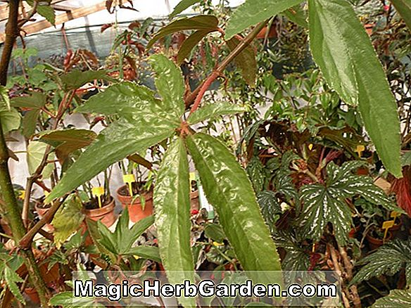 Begonia Lee's Luxurians (Lee's Luxurians Begonia) - #2