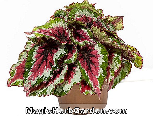 Begonia Lime Freeze (Lime Freeze Begonia) - #2