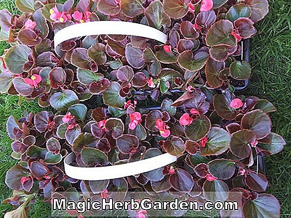 Planter: Begonia Lowe s Star (Lowes Star Begonia) - #2