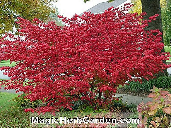 Begonia Maple of Fuji (Maple of Fuji Begonia)