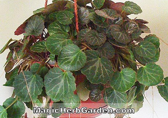 Begonia Merry Christmas (God Jul Begonia)