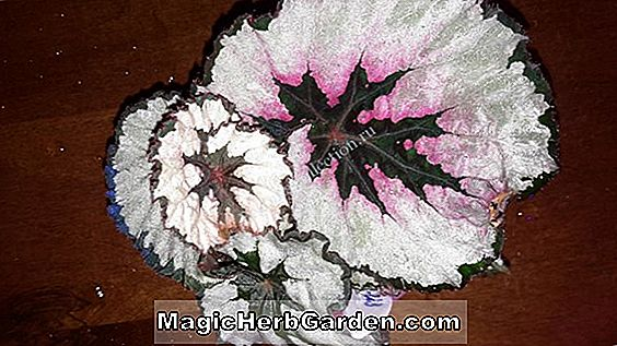 Planter: Begonia metachroa (Metachroa Begonia)