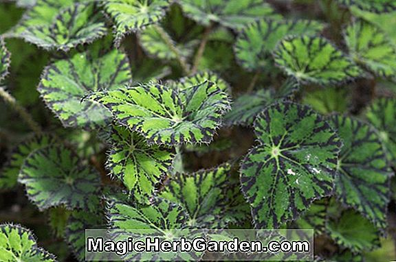Begonia Mountain Haze (Mountain Haze Begonia) - #2
