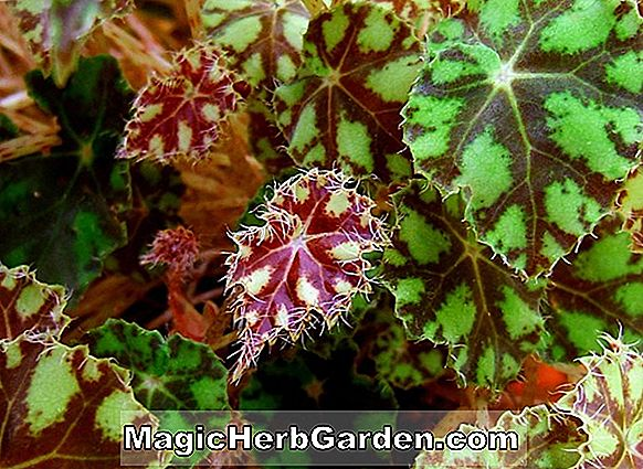 Begonia New Guinea Species (New Guinea Species Begonia)