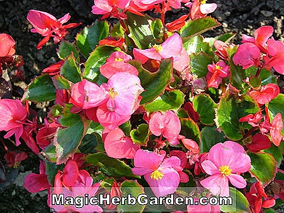 Planter: Begonia Night Flight (Night Flight Begonia)