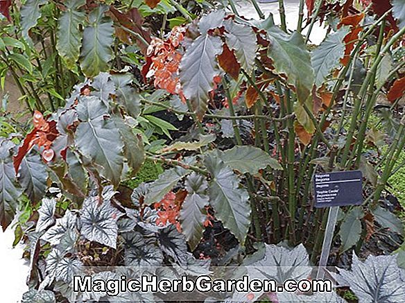Planter: Begonia Northern Lights (Northern Lights Begonia) - #2