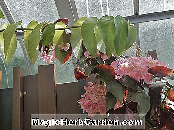 Begonia Northern Lights (Rex) (Northern Lights Begonia)