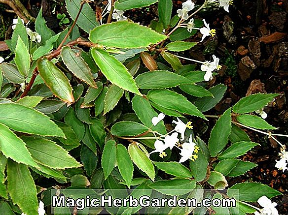 Begonia obscura (Obscura Begonia)