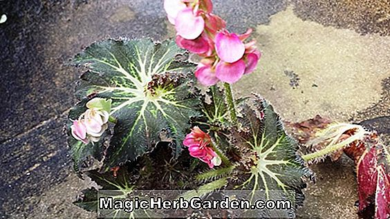 Planter: Begonia Oh Razzberries (Oh Razzberries Begonia)