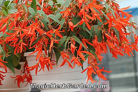 Begonia Old Time Sanguinea (Old Time Sanguinea Begonia)