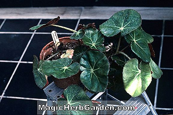 Planter: Begonia Olsoniae (Begonia Olsoniae) - #2