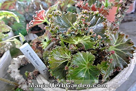 Begonia Othello (Othello Begonia) - #2