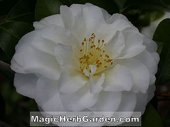 Begonia Rose Perfection (Rose Perfection Begonia) - #2