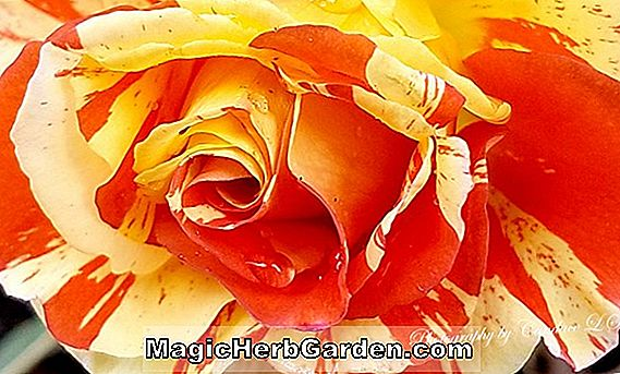 Begonia Platinum Rose (Platinum Rose Begonia) - #2