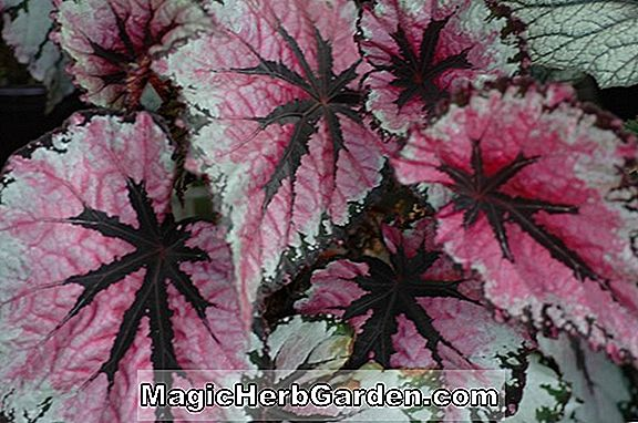 Begonia Purple Ghost (Purple Ghost Begonia) - #2