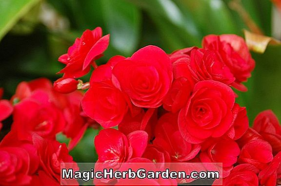 Begonia Red Bellybutton (Red Bellybutton Begonia)