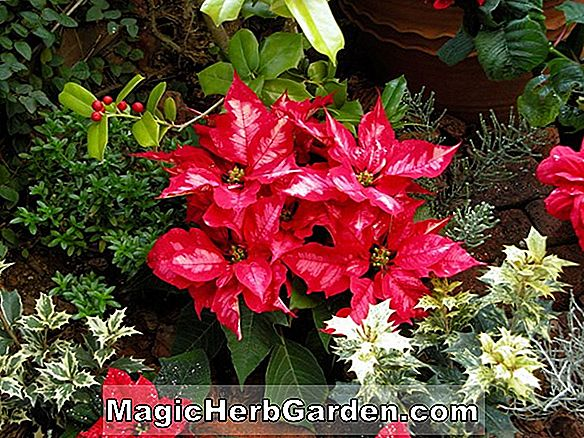 Planter: Begonia Red Berry (Red Berry Begonia) - #2