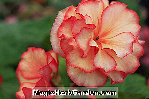 Planter: Begonia Red Bluff (Red Bluff Begonia)