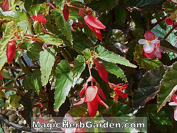 Planter: Begonia (Richmond Begonia)