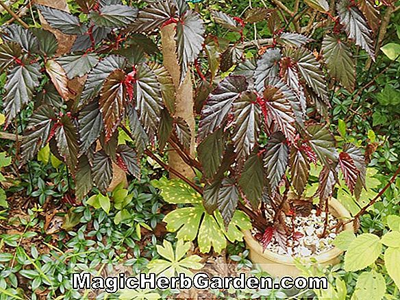 Begonia Red Mystery (Red Mystery Begonia) - #2