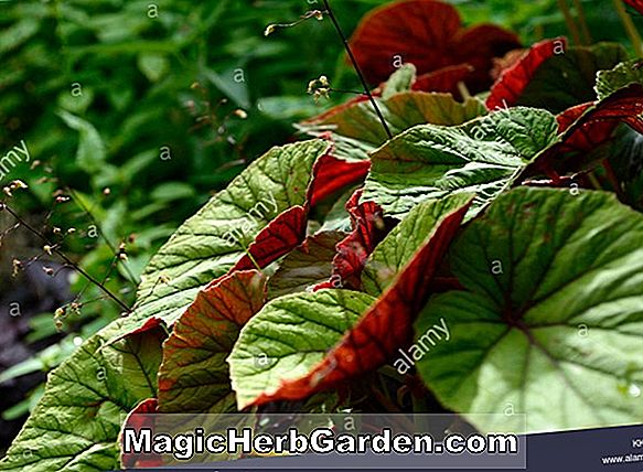 Planter: Begonia Red Zephyr (Red Zephyr Begonia) - #2