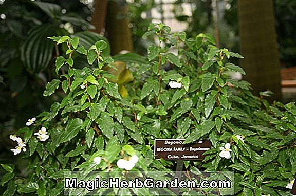 Planter: Begonia Richmondensis (Richmondensis Begonia) - #2