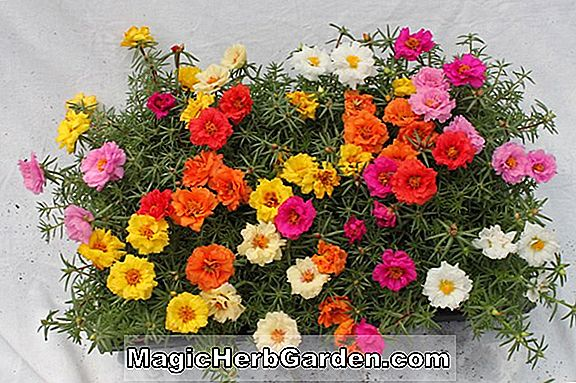 Planter: Begonia Robert Ritchie (Robert Ritchie Begonia)