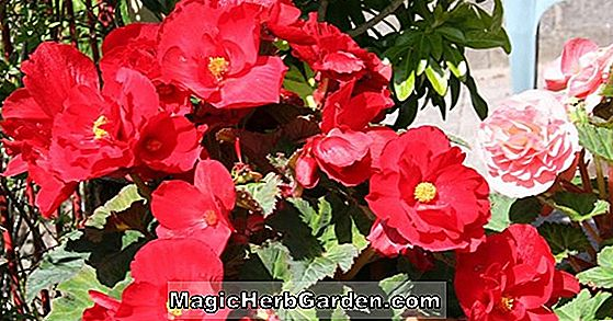Begonia Scottish Knight (Scottish Knight Begonia)